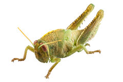 Nymphe ägyptischen Heuschreckenspezies Anacridium-aegyptium Stockbild
