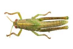 Nymphe ägyptischen Heuschreckenspezies Anacridium-aegyptium Lizenzfreie Stockbilder