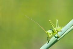 Nymphe de cricket Photos stock