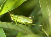 Nymphe de Grasshoper Photographie stock libre de droits