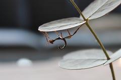 Nymphe de tiaratum d'Extatosoma Images libres de droits