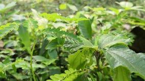 Nymphe der großen Milkweedwanze Orange Insekt geht auf Niederlassungen der Vegetation stock video footage