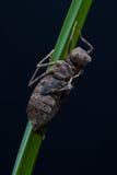 Nymphe der Libelle Stockbilder