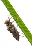 Nymphe der Libelle Stockfoto