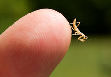 Nymphe des betenden Mantis-(Mantodea) Lizenzfreies Stockbild