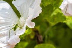 Nymphe tachetée de Bush-cricket sur une fleur blanche images libres de droits