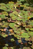 Nympheas In Pond Royalty Free Stock Image