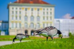Nymphenburg,德国- 2015年7月30日:在站立有宫殿大厦门面sligthly多刺的背景的绿草的灰色鸟,是 免版税图库摄影