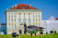 Nymphenburg, Germany - July 30, 2015: Grey birds on green grass standing with palace building facade sligthly burry background, be Royalty Free Stock Images