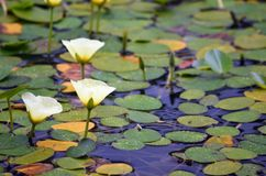 Nymphoides aquáticos de Hydrocleys das papoilas da água fotos de stock royalty free