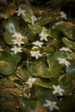 Nymphoides Indica Stock Images