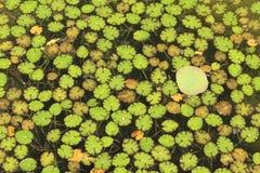 nymphoides peltata στοκ εικόνες