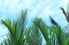Nypa棕榈叶子  免版税库存图片