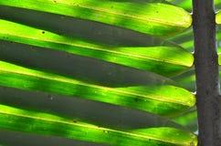 Nypa棕榈叶子  免版税图库摄影