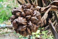 Nypa棕榈果子在泰国,关闭nypa种子本质上 免版税图库摄影