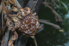 nypa棕榈果子 免版税图库摄影