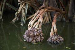 Nypa棕榈果子 图库摄影