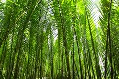 Nypa棕榈 库存照片
