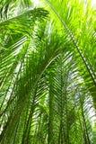 Nypa棕榈 免版税库存图片