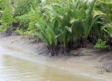 Nypa棕榈 免版税库存照片