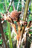 Nypa棕榈 免版税图库摄影