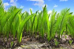 Nypa palm Stock Photos