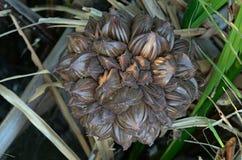Nypa palma fotografia stock