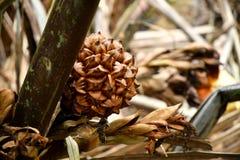 Nypah owoc i obraz stock
