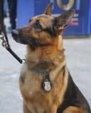 NYPD-Durchfahrtbüro K-9 Schäferhund, der Sicherheit auf Broadway während der Woche des Super Bowl XLVIII zur Verfügung stellt Lizenzfreies Stockfoto
