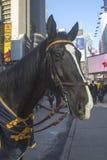 NYPD-häst på Times Square under vecka för Super Bowl XLVIII i Manhattan Royaltyfri Bild