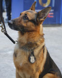 NYPD transit bureau K-9 German Shepherd providing security on Broadway during Super Bowl XLVIII week Royalty Free Stock Photo