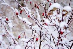 Nypon i snön fotografering för bildbyråer