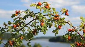 Nyponbuskar förgrena sig över trevligt lakeshore landskap arkivfilmer