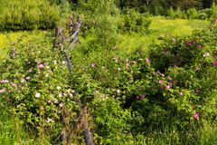 Nyponet blommar runt om ett gammalt trästaket arkivbilder