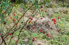 Nyponfilialer med massor av Rred frukter Royaltyfri Fotografi