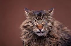 Nysa katten för maine tvättbjörnavel Royaltyfri Foto