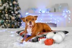 nytt år Dekorerad rumhund som ligger på kudden med gåvor och struntsaker som ser nyfiken närbild för kamera arkivbilder