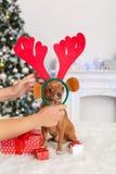 nytt år Dekorerat rum med hunden i att sitta för hjorthorn på kronhjort som omges av gåvor som ser kameran arkivfoto