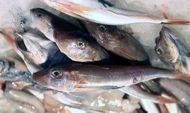 Nytt bada gurnarden som är till salu i fiskmarknad Arkivfoton