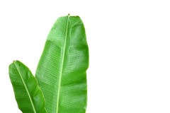 Nytt bananblad Arkivfoton
