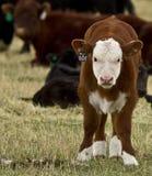 Nytt behandla som ett barn kalven nummer 101 Fotografering för Bildbyråer