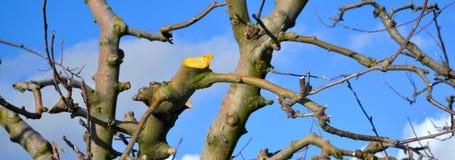 nytt beskurit gammalt äppleträd royaltyfria foton