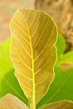 Nytt blad av teakträt. Arkivfoto