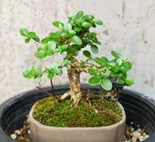 Nytt bonsaiträd i en liten blomkruka royaltyfri bild