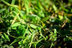 Nytt Dews på gräs Fotografering för Bildbyråer
