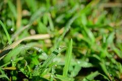 Nytt Dews på gräs Arkivbilder