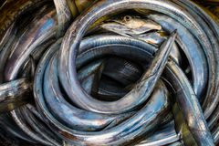 Nytt fångad ål i det karibiska havet Arkivfoto