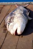 Nytt fångad fisk Royaltyfri Fotografi