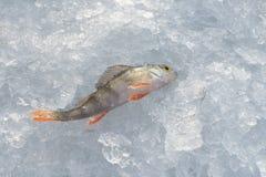 Nytt fångad sittpinne som ligger på is, closeup lies för fiskeis bara blockerade vinterzander Royaltyfria Foton