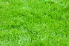 Nytt fjädergreengräs arkivfoto
